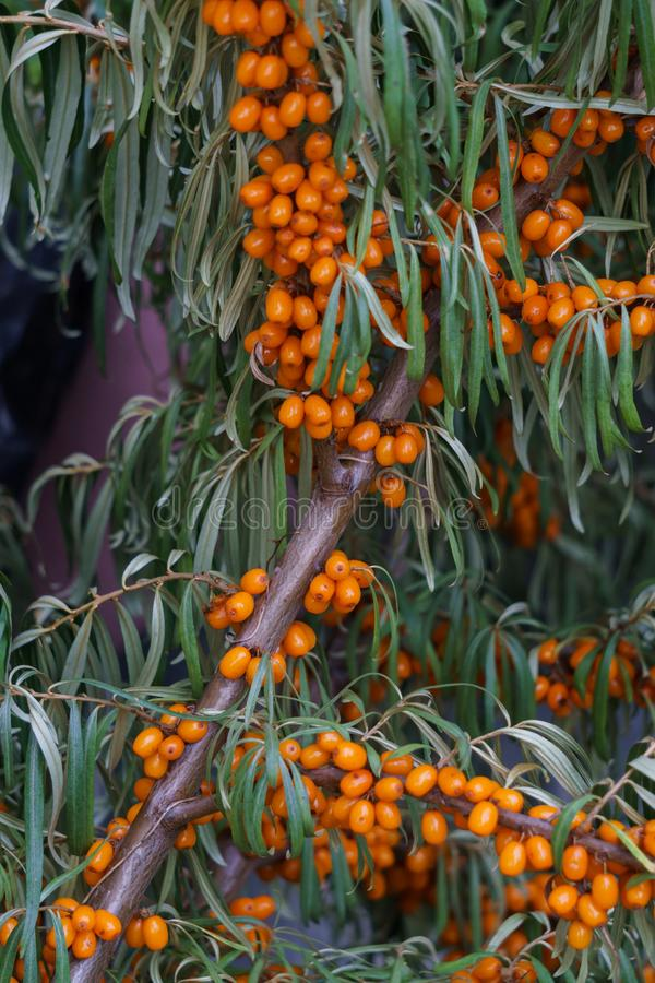 Branch with berries of sea buckthorn and green leaves.  stock image