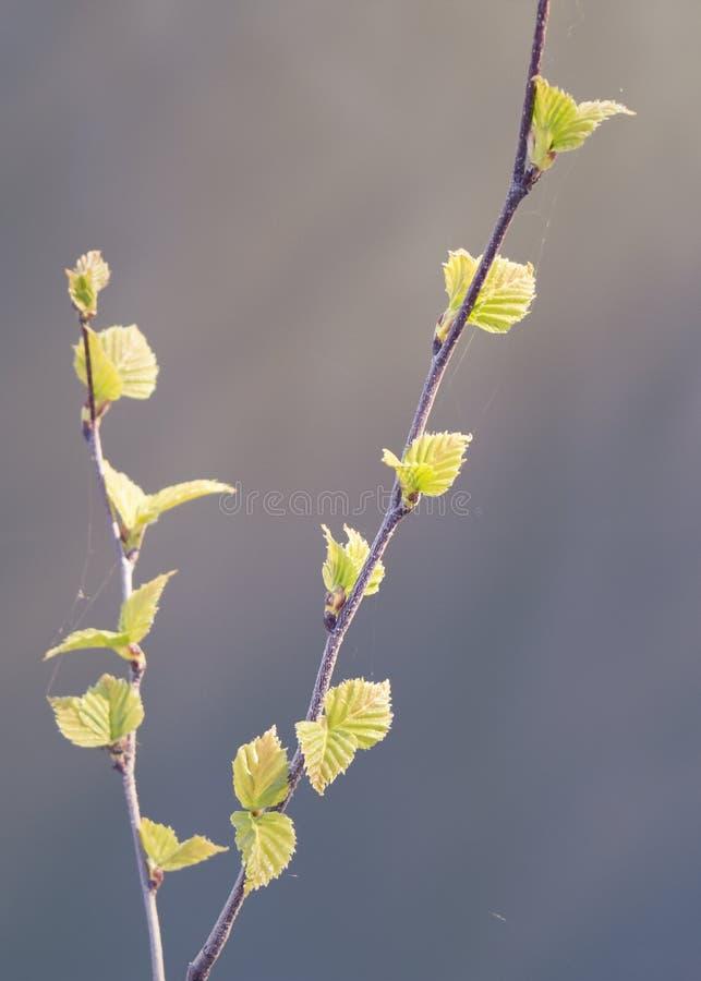 Branch of birch in spring. royalty free stock photo