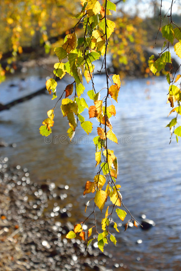 The branch of a birch tree at autumn day. stock photography