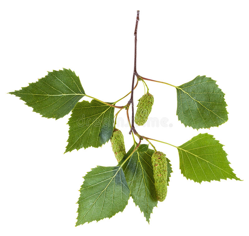 Branch of birch tree with green leaves and catkins stock photos