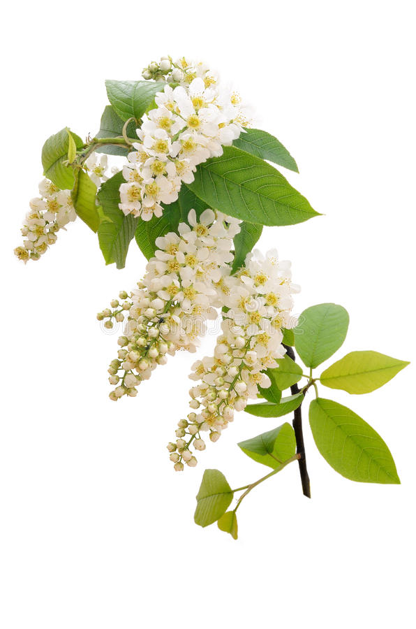 The branch of bird-cherry tree royalty free stock photography