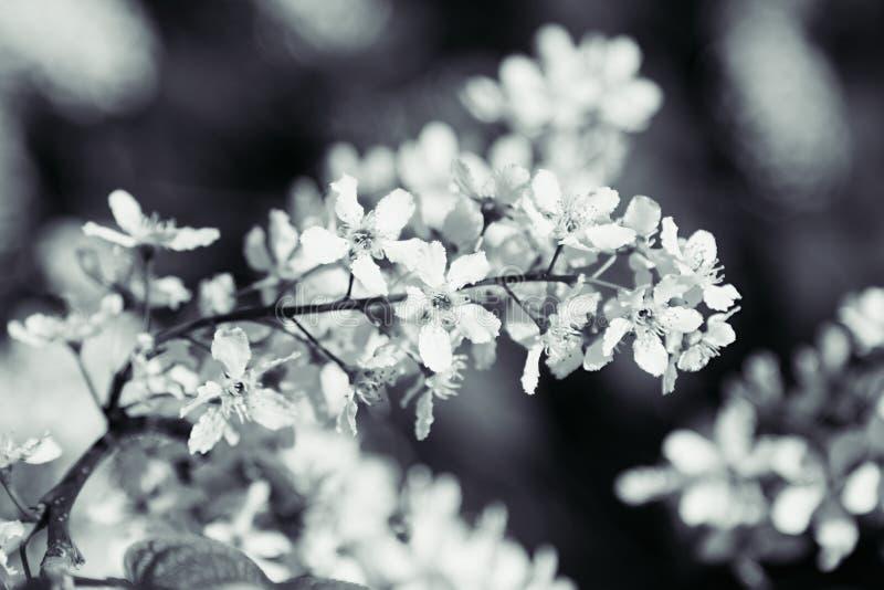 Branch of bird cherry tree on green background. Black and white background. Flowers bird cherry. stock image