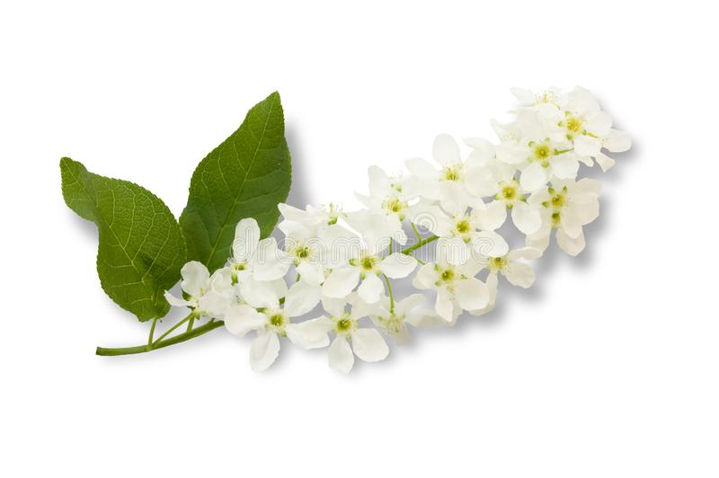 The branch of bird-cherry tree, Prunus padus, isolated on a white background stock photos