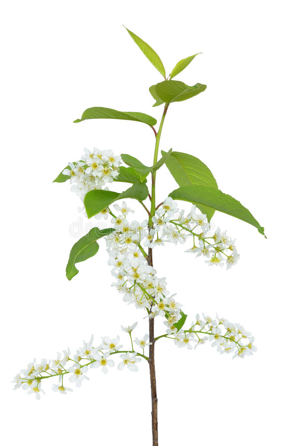 Branch of bird-cherry tree Prunus padus stock photography