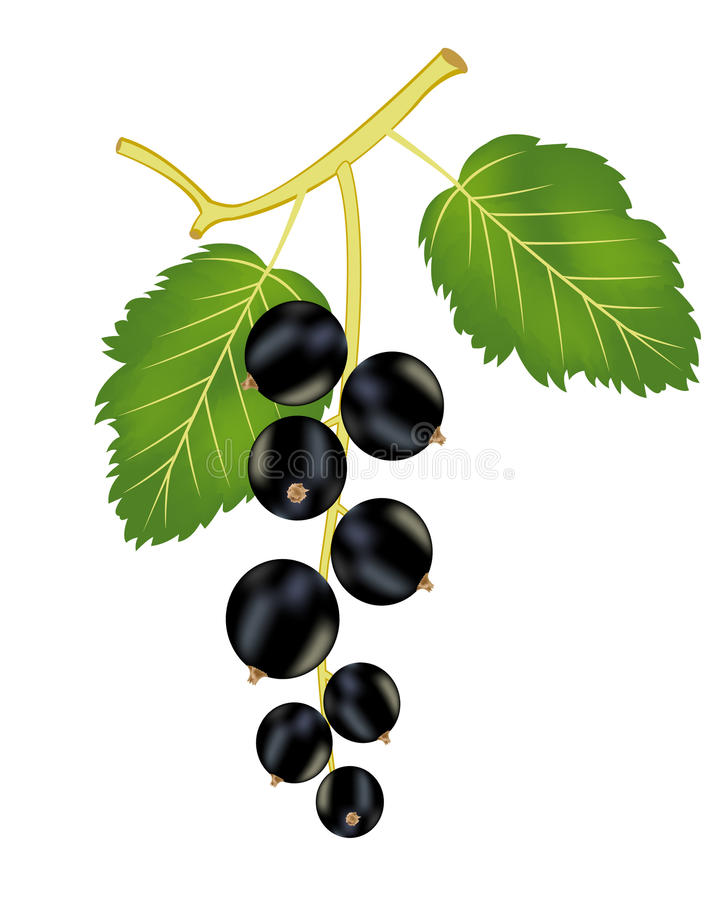 Download Branch Of The Black Currant Stock Vector - Illustration: 24573717