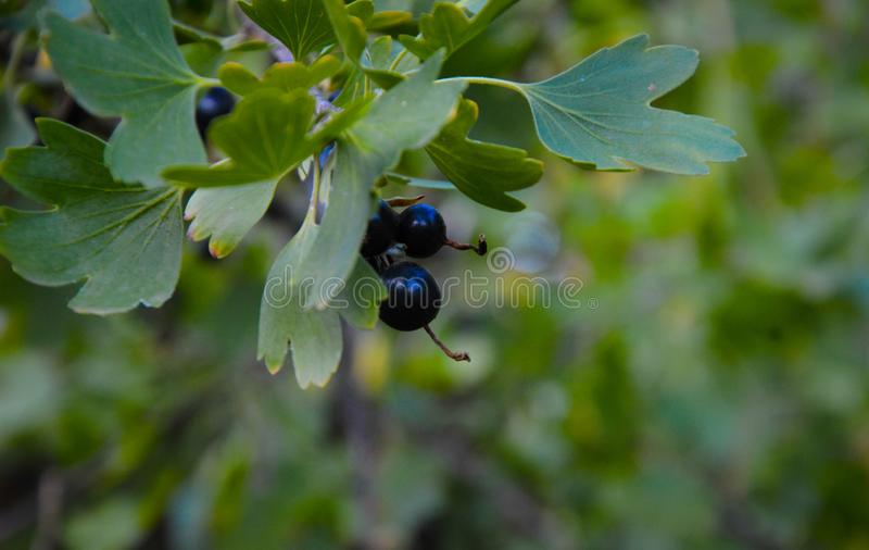 Branch of black currant in the garden on sun,farm garden royalty free stock images