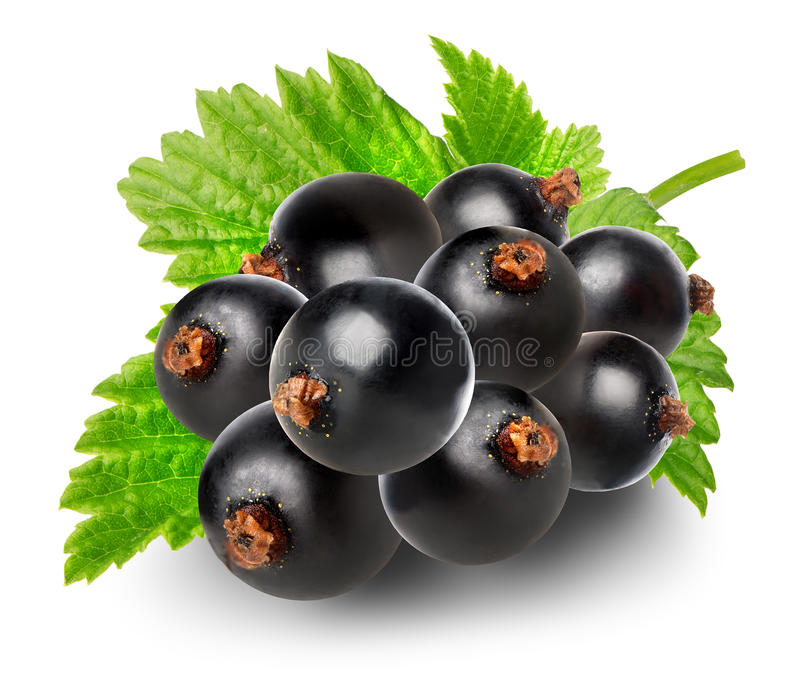 Branch of black currant. Isolated on a white background stock photography