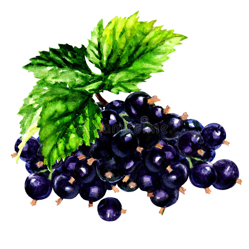 Branch of black currants isolated on white background stock illustration