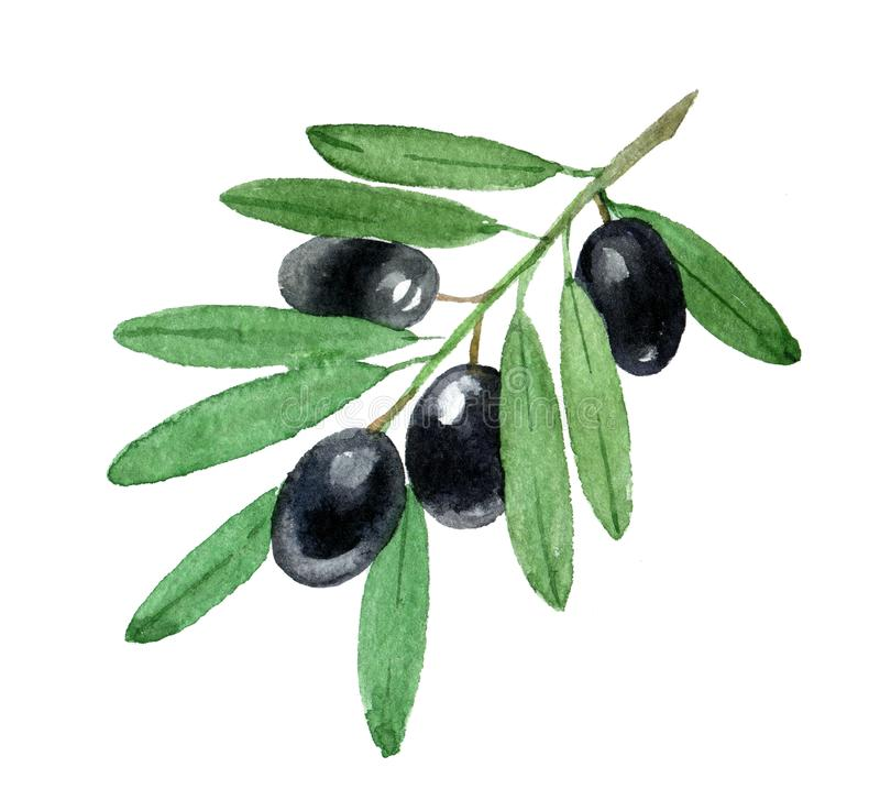 Branch of black olives, isolated on white, watercolor illustration stock illustration