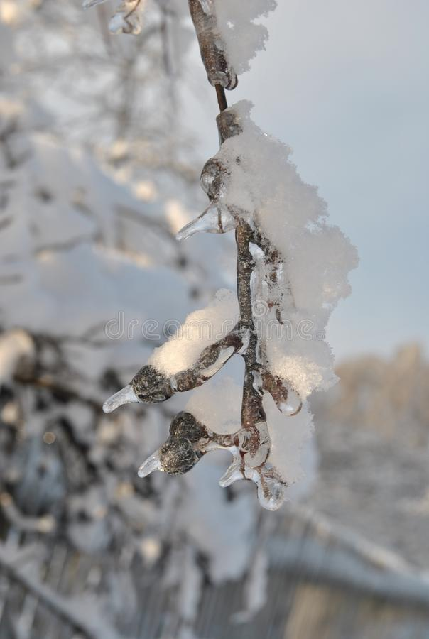 Branch of black rowan covered with ice and fluffy snow in rural areas on a blue sky background. Ð¡lose-up. Branch of black rowan covered with ice and fluffy stock photos