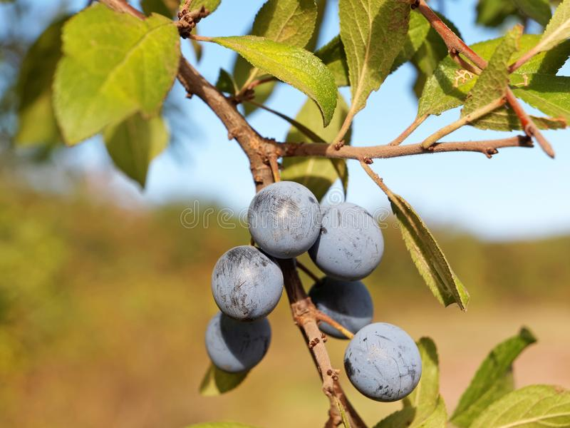 Branch of Blackthorn with ripe fruits. Prunus spinosa royalty free stock image