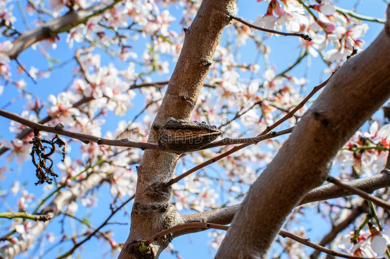 Branch of the blooming almond. Branch  of the blooming almond in spring time in spain royalty free stock image
