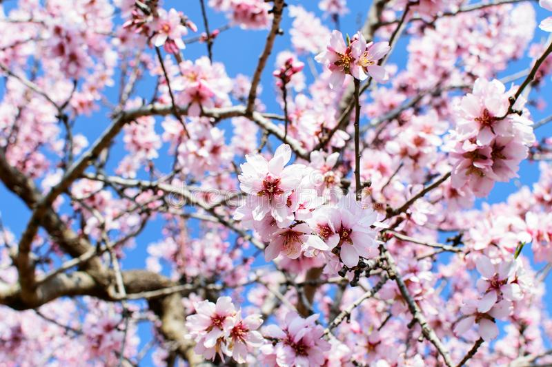 Branch of the blooming almond. Branch of the blooming almond in spring time in spain in mountains royalty free stock images