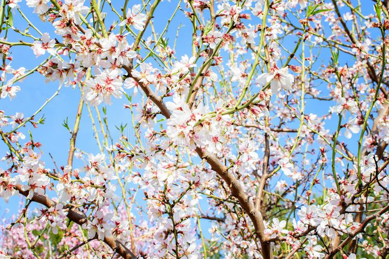 Branch of the blooming almond. Branch of the blooming almond in spring time in spain in mountains royalty free stock photo