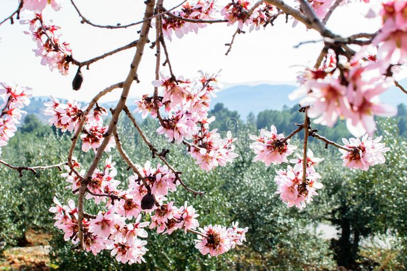 Branch of the blooming almond. Branch of the blooming almond in spring time in spain in mountains royalty free stock photography