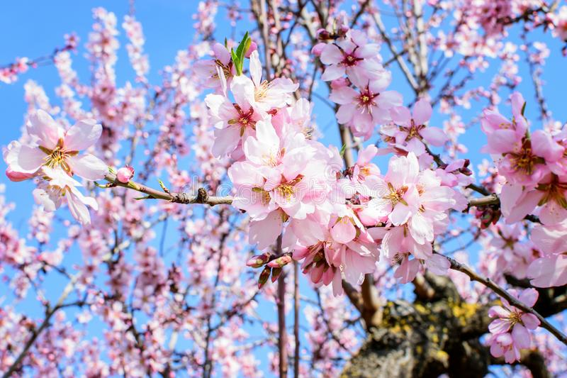 Branch of the blooming almond. Branch of the blooming almond in spring time in spain in mountains stock photography