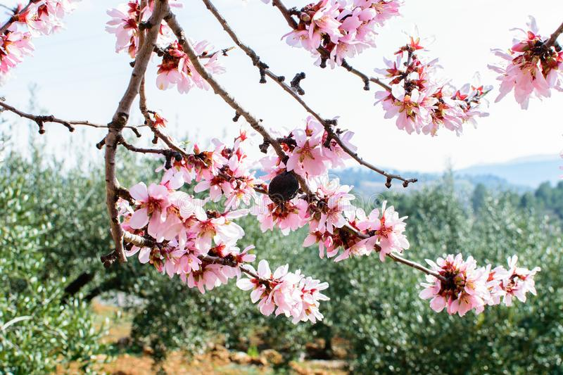Branch of the blooming almond. Branch of the blooming almond in spring time in spain on the sky background royalty free stock photos