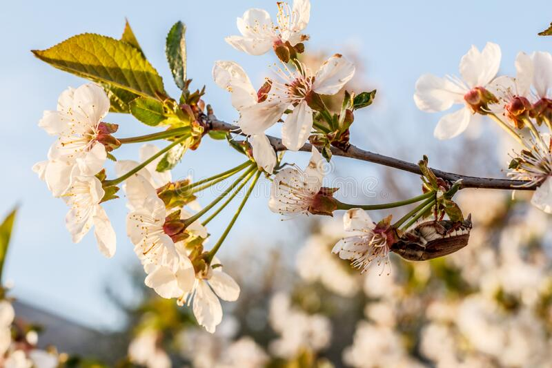 Branch of blooming cherry tree with beetle in a spring orchard. Branch of blooming cherry tree with cockchafer in a spring orchard with blue sky on the stock image