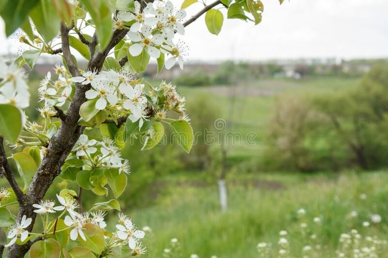 Branch of blooming pear tree in a spring orchard. With blurred country background. Beautiful rural scene with blooming trees. Selective focus on flowers royalty free stock images