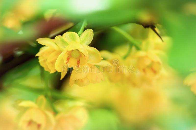 Branch of blooming spring tree, yellow flowers close-up. Selectiv focus. Natural bright background royalty free stock image