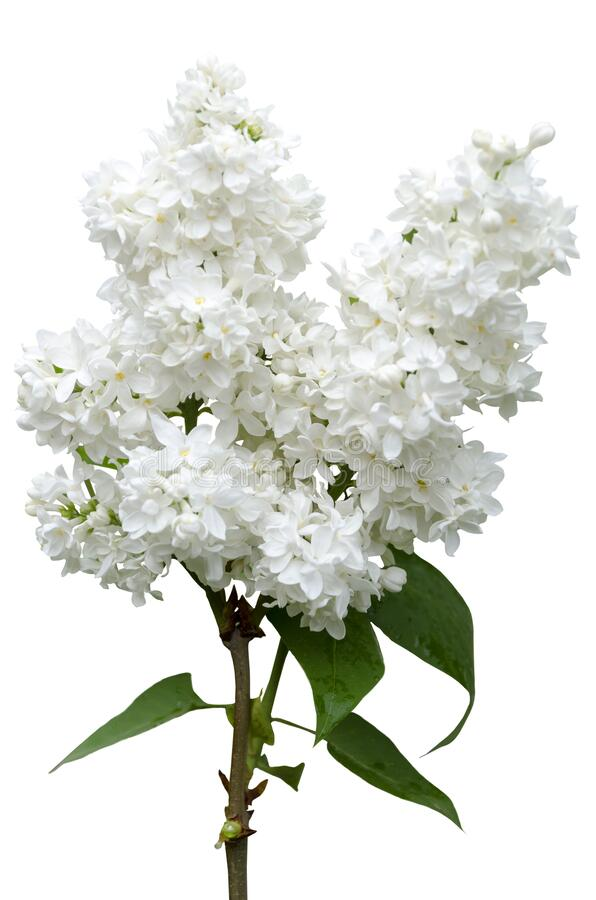 A branch of blooming white lilac stock photo