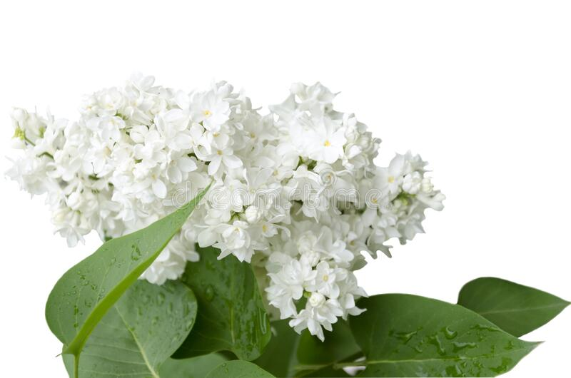 A branch of blooming white lilac royalty free stock photography