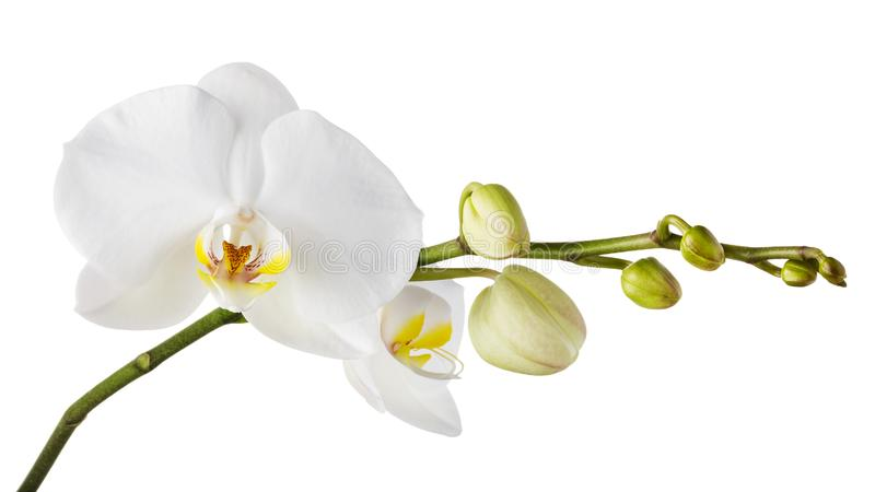 Branch of a blooming white orchid with a yellow color in the middle and several undiscovered buds royalty free stock photo