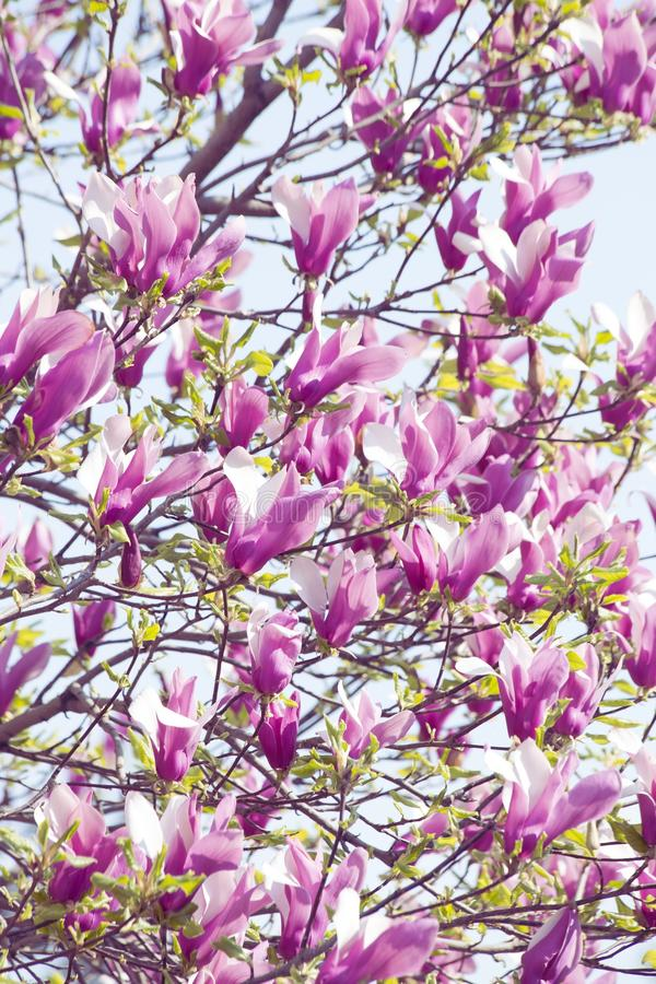 Bloomy magnolia. Branch of the bloomy magnolia over blue sky royalty free stock photos