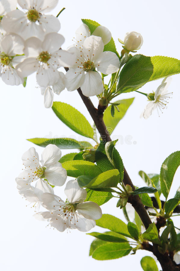 Download Branch In Blossom Royalty Free Stock Photography - Image: 26649337