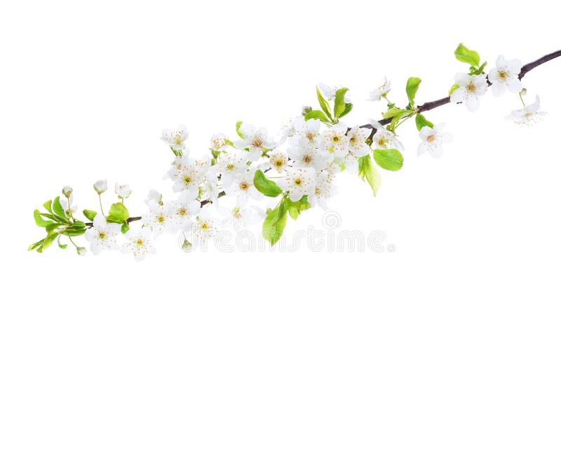 Branch in blossom isolated on white background. Cherry Plum.  stock photo