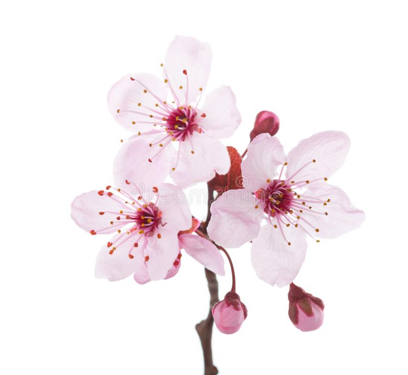 Branch in blossom Plum isolated on white background.  royalty free stock photos