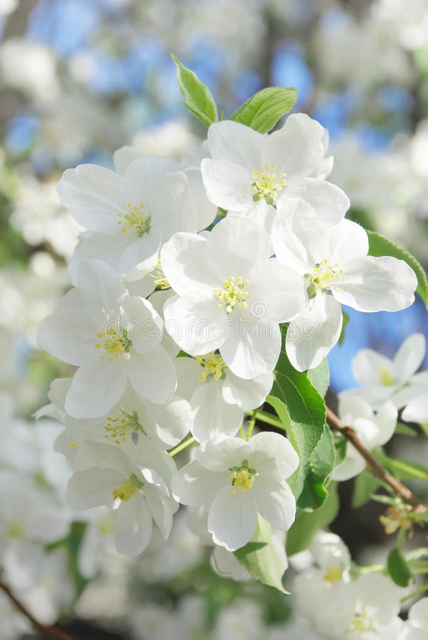 Branch blossoming apple-tree. In the spring stock photography
