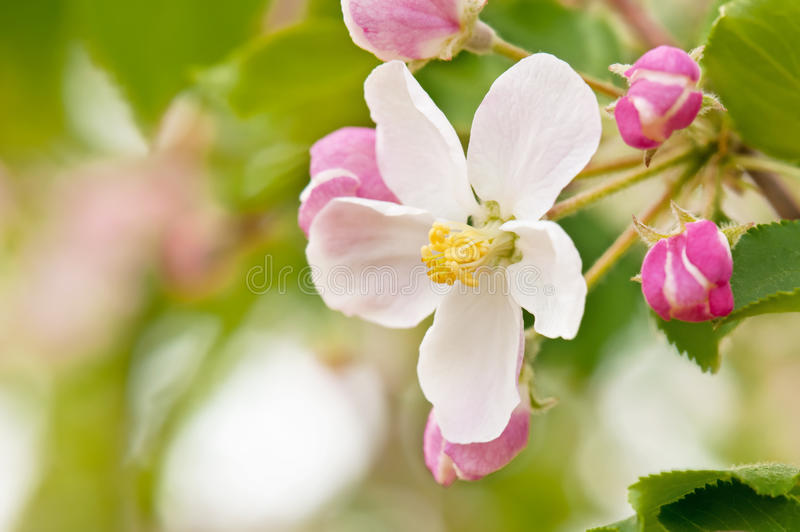 Download Branch Blossoming Apple-tree Stock Image - Image: 23915323