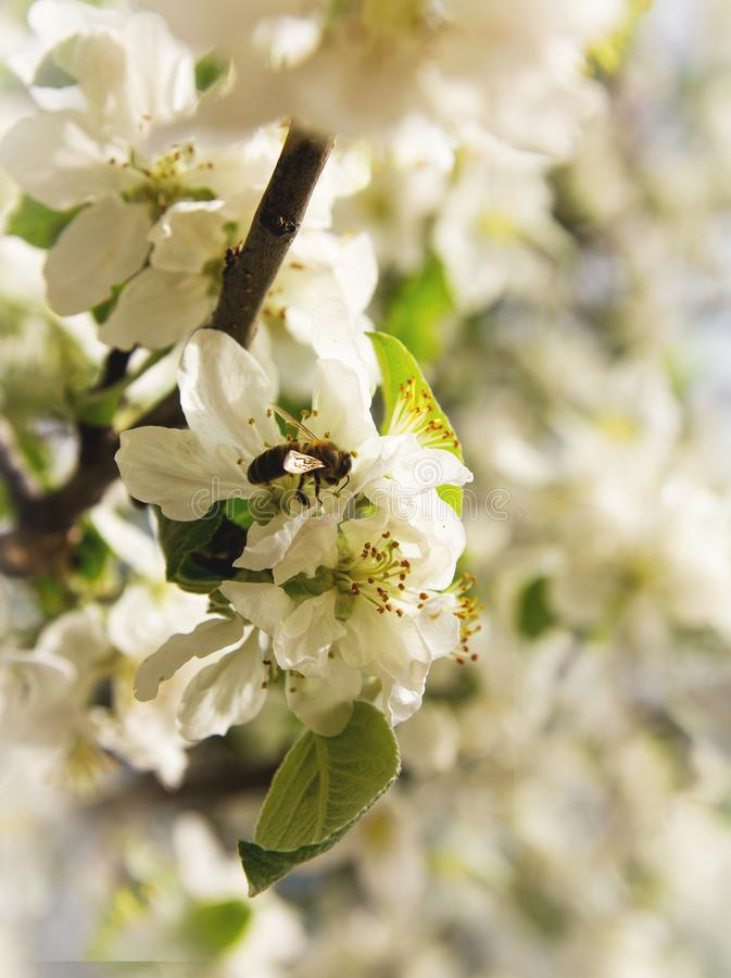 A branch of a blossoming apple tree with a bee flying up to its flowers stock photos