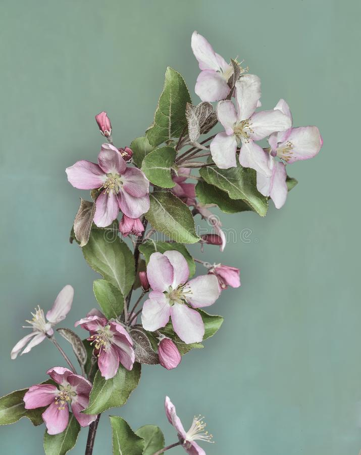 Branch of blossoming apple tree in old style, isolated on lime color background. Branch of blossoming apple tree with pink flowers and leaves close up, in old stock image