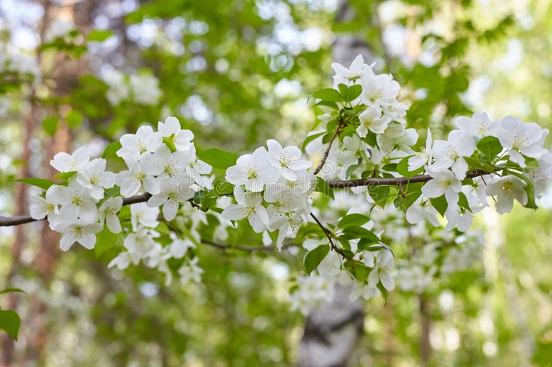Branch of a blossoming apple tree royalty free stock photos