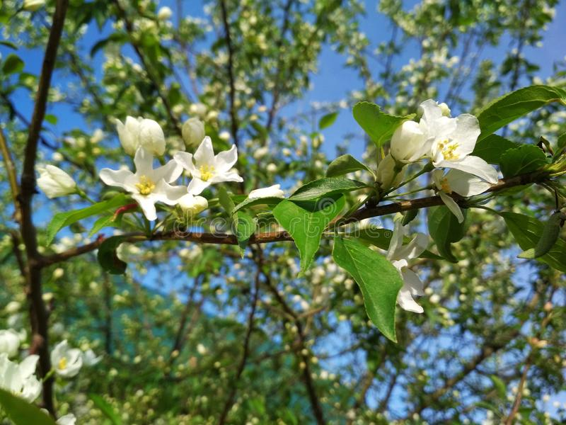 A branch of blossoming apple trees. Apple tree with white flowers. Summer day stock photography