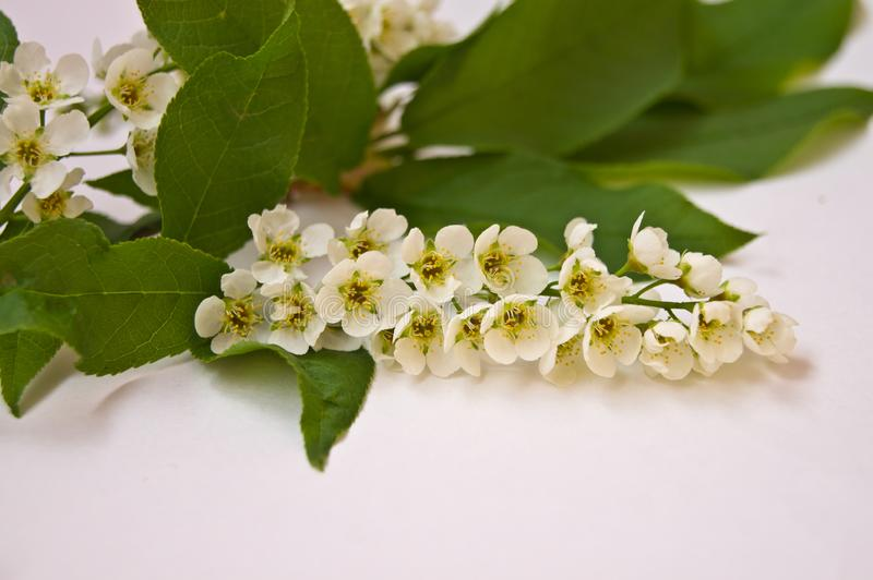 A branch of a blossoming bird cherry royalty free stock image