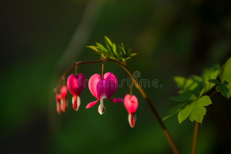 Branch with blossoming of the bright and unusual pink flowers The Broken Heart. The spring nature in April. Background. stock image