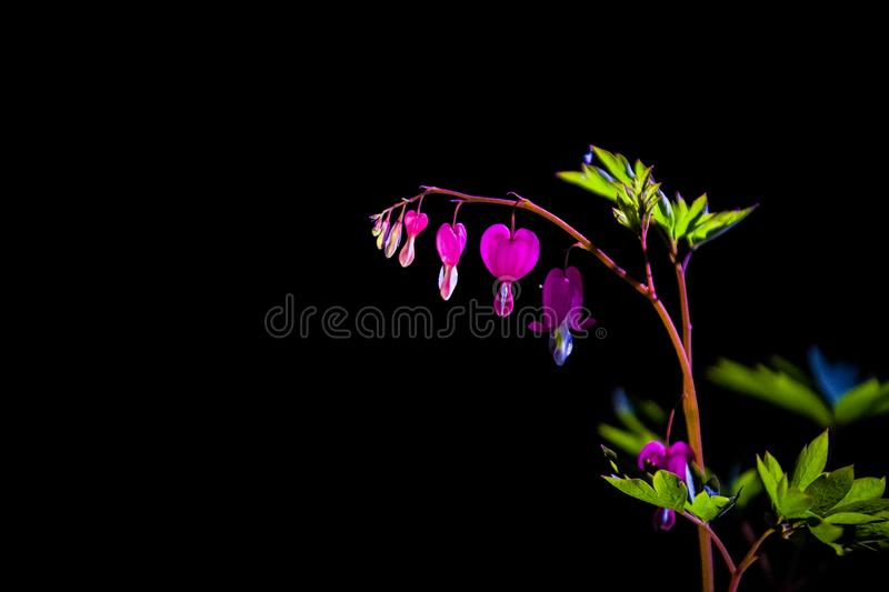 Branch with blossoming of the bright and unusual pink flowers The Broken Heart. The spring nature in April. Background. royalty free stock photo