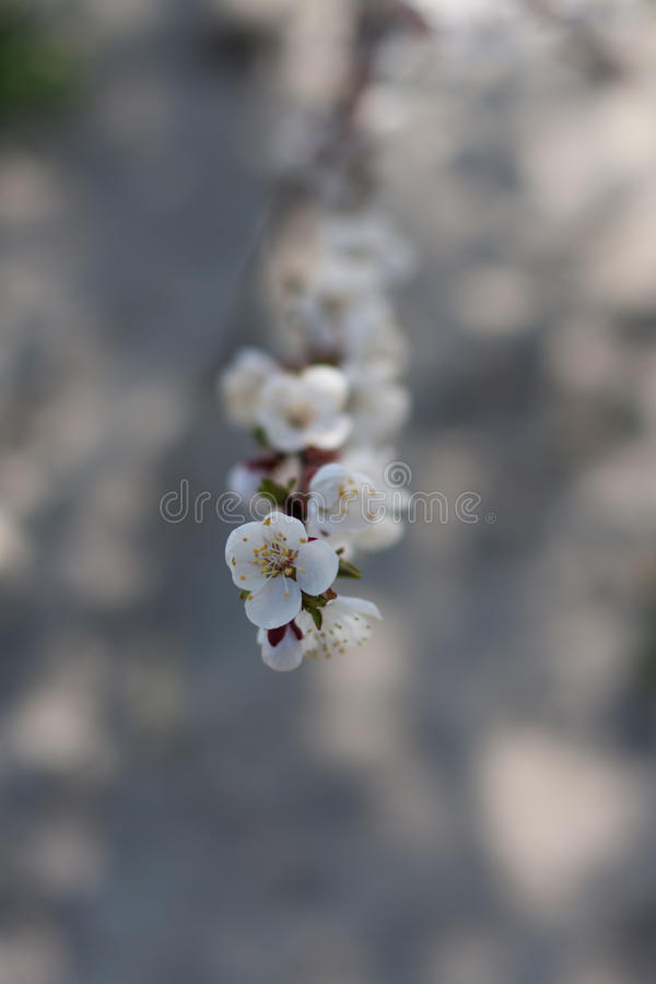 Branch of blossoming cherry tree stock images