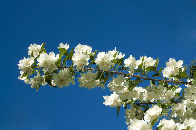 Branch of blossoming jasmin. Against blue sky stock image