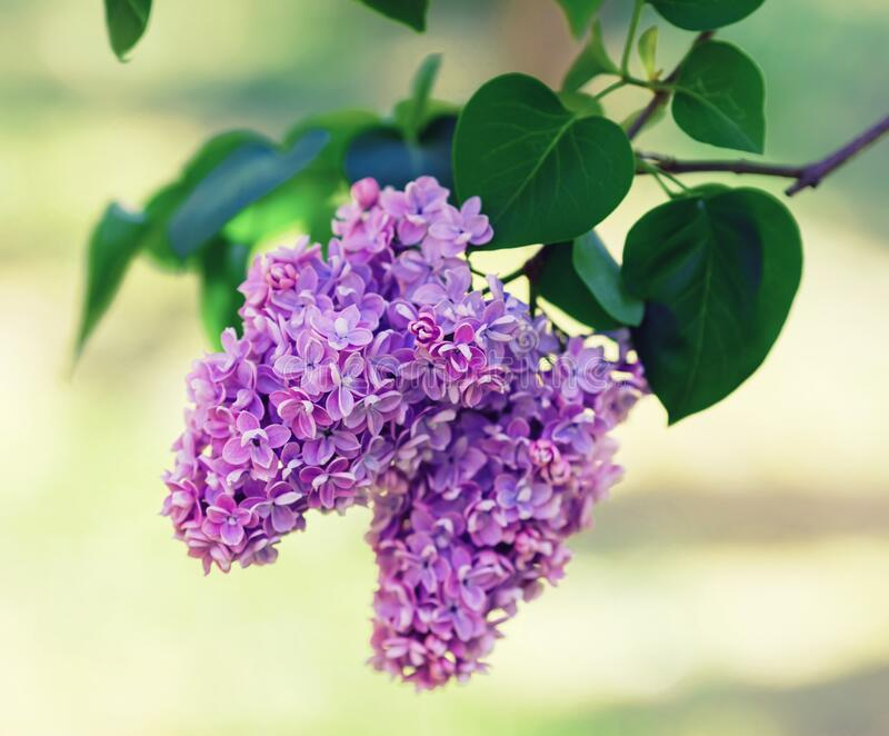 Branch of blossoming lilac royalty free stock image