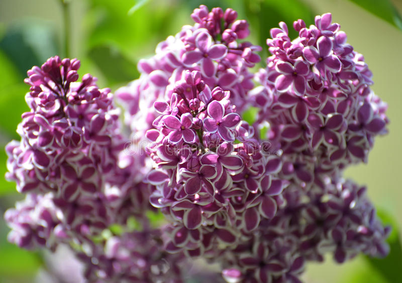 Branch of the blossoming lilac (Syringa L.), grade Sensation (Sensation).  royalty free stock image