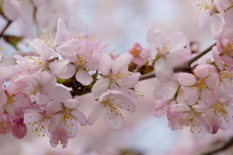 Branch of the blossoming Oriental cherry sakura. With pink flowers royalty free stock images