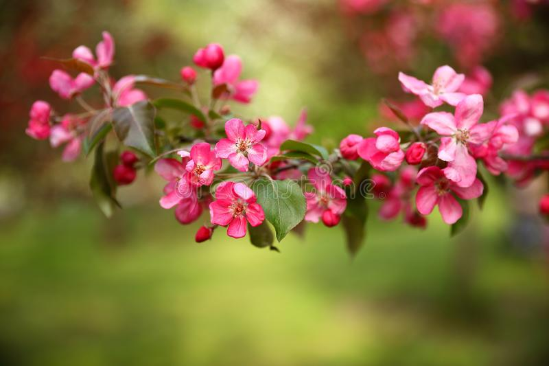 A branch of a blossoming pink apple tree stock images