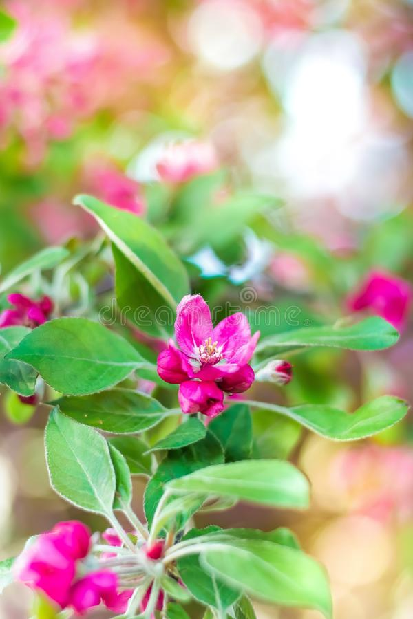 A branch of a blossoming tree with pink flowers close-up. Spring background.  royalty free stock image
