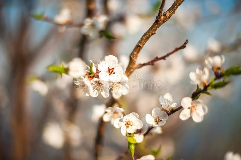 Branch of a blossoming tree in spring. How the fruit tree blossoms, apple, cherry, pear, plum. Close-up, texture of natural bark a royalty free stock photos