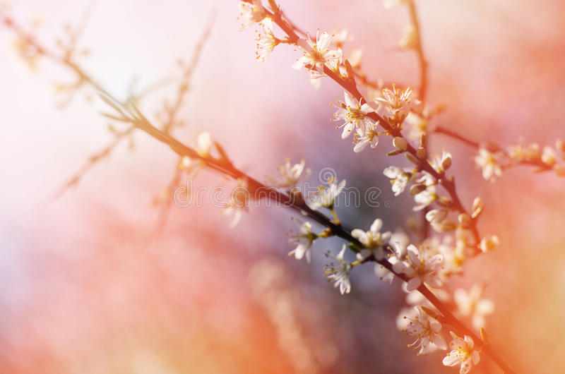 A branch of a blossoming tree with white flowers against the sunny, bright sky. Spring flowering royalty free stock photography