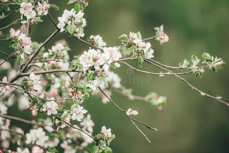 Branch of blossoming wild apple tree on pale green background. Selective focus in branch. Closeup. Branch of blossoming wild apple tree on pale green background royalty free stock image